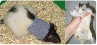 pathologies et santé du rat domestique | Portail du LORD