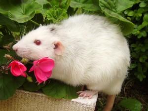 Généalogie des ratons 131209_235135_LORD_AynJPF